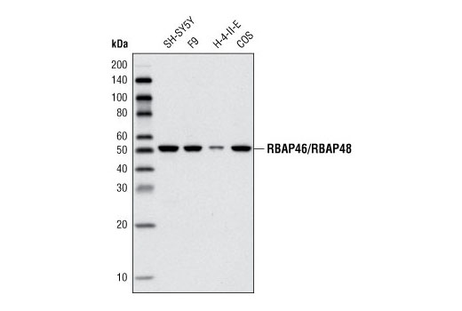 Western blot analysis of extracts from various cell lines using RBAP46/RBAP48 Antibody.