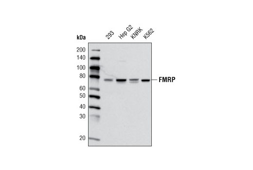 Western blot analysis of extracts from various cell lines using FMRP (G468) Antibody.