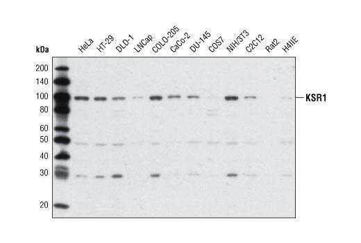 Polyclonal Antibody Western Blotting Map-Kinase Scaffold Activity