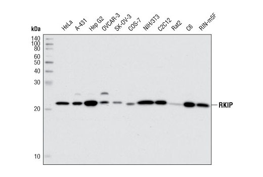 Western blot analysis of extracts from various cell lines using RKIP (G38) Antibody.
