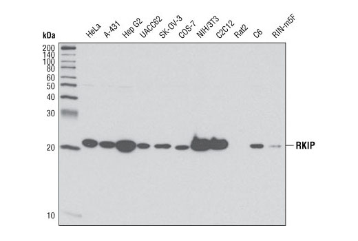 Western blot analysis of extracts from various cell lines using RKIP (V177) Antibody.