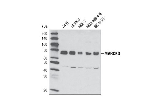 Western blot analysis of cell extracts from various cell lines using MARCKS (D88D11) XP<sup>®</sup> Rabbit mAb.