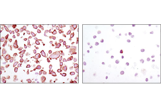 Immunohistochemical analysis of paraffin-embedded 293 (left) or K562 (right) cell pellets using MARCKS (D88D11) XP<sup>®</sup> Rabbit mAb.
