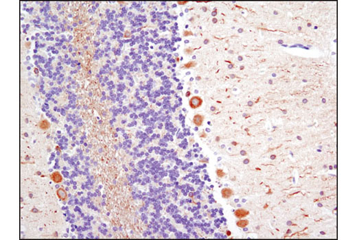 Immunohistochemical analysis of paraffin-embedded rat brain using beta3-Tubulin (TU-20) Mouse mAb.