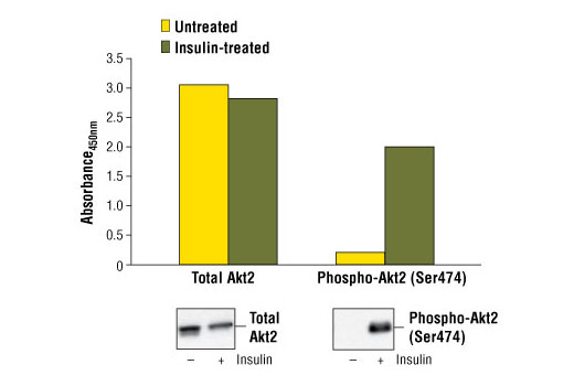 Figure 1: Treatment of A-673 cells with insulin stimulates phosphorylation of Akt2 at Ser474, detected by PathScan<sup>® </sup>Phospho-Akt2 (Ser474) Sandwich ELISA Kit #7048, but does not affect levels of total Akt2 protein detected by PathScan<sup>®</sup> Total Akt2 Sandwich ELISA Kit #7046. The absorbance readings at 450 nm are shown in the top figure, while the corresponding western blots using Akt2 (5B5) Rabbit mAb #2964 (left panel) and Phospho-Akt (Ser473) (D9E) XP<sup>®</sup> Rabbit mAb #4060 (right panel) are shown in the bottom figure.