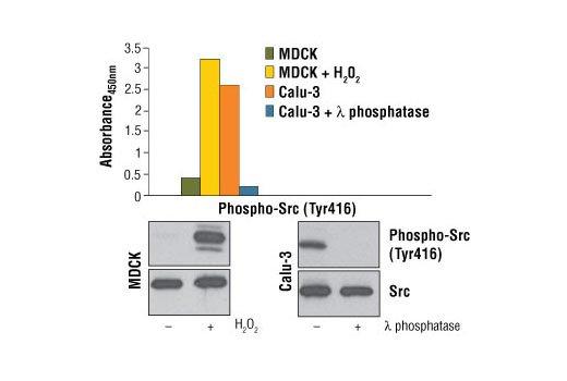 Figure 1. Phosphorylation of Src at Tyr416 in H<sub>2</sub>0<sub>2 </sub>stimulated MDCK cells (3 mM for 3 min) and untreated Calu-3 cells is detected by the PathScan<sup>®</sup> Phospho-Src (Tyr416) Sandwich ELISA Kit. In contrast, a low level of phospho-Src (Tyr416) is detected in untreated MDCK cells and Calu-3 cells lysed in the presence of λ-phosphatase. The absorbance readings at 450 nm are shown in the top figure while western blots, using Phospho-Src Family (Tyr416) (100F9) Rabbit mAb #2113 (upper) or Src (L4A1) Mouse mAb #2110 (lower), are shown in the bottom figure.