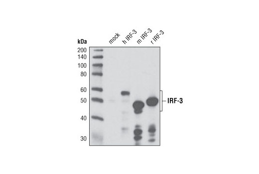 Western blot analysis of extracts from COS-7 cells, mock transfected or transfected with human, mouse or rat IRF-3 constructs, using IRF-3 (D83B9) Rabbit mAb. The human and mouse constructs contain epitope tags.