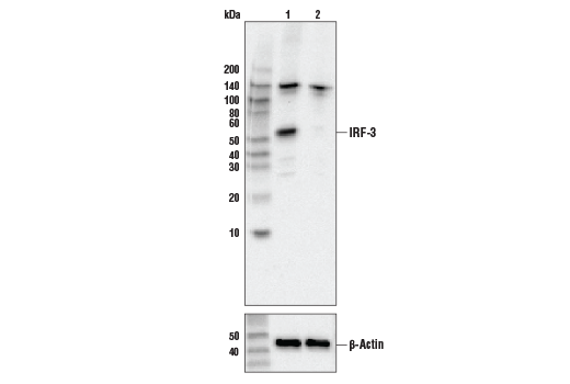 Western blot analysis of HeLa cell extracts, untreated (-) or IRF-3 knock-out (+), using IRF-3 (D83B9) Rabbit mAb, #4302 (upper) or β-actin (13E5) Rabbit mAb #4970 (lower).