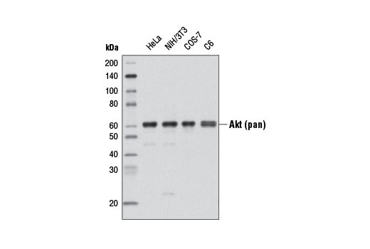 Western Blotting Image 1: Akt (pan) (C67E7) Rabbit mAb (Biotinylated)
