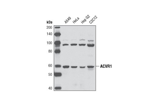 Mouse Transmembrane Receptor Protein Serine/Threonine Kinase Activity