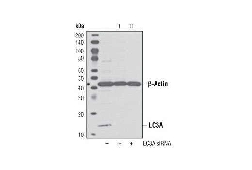 Western blot analysis of extracts from HeLa cells, transfected with 100 nM SignalSilence<sup>®</sup> Control siRNA (Unconjugated) #6568 (-), SignalSilence<sup>®</sup> LC3A siRNA I (+) or SignalSilence<sup>®</sup> LC3A siRNA II #6215 (+), using LC3B (G40) Antibody #4108 and β-Actin (13E5) Rabbit mAb #4970. The LC3B (G40) antibody confirms silencing of LC3A expression, while the β-Actin (13E5) Rabbit mAb is used to control for loading and specificity of LC3A siRNA. Please note #4108 recognizes LC3A and LC3C.