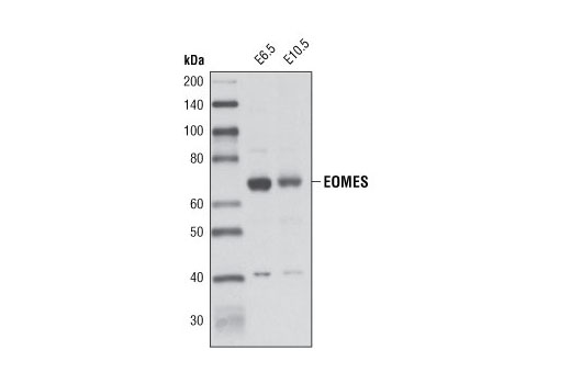 Polyclonal Antibody - EOMES Antibody - Western Blotting, UniProt ID O95936, Entrez ID 8320 #4540 - Developmental Biology