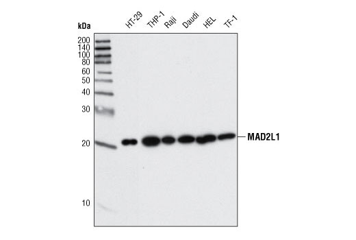 Monoclonal Antibody - MAD2L1 (D8A7) Rabbit mAb - Immunoprecipitation, Western Blotting, UniProt ID Q13257, Entrez ID 4085 #4636 - Primary Antibodies