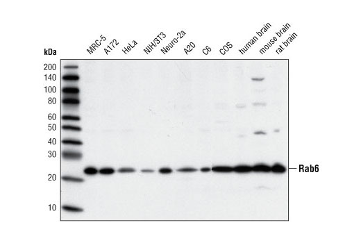 Polyclonal Antibody Western Blotting Protein Targeting to Golgi