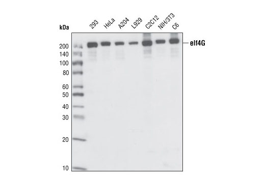 Western blot analysis of extracts from various cell lines, using eIF4G Antibody.