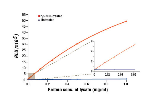 Figure 1. Relationship between protein concentration of lysates from untreated and hβ-NGF-treated 3T3/TrkA cells and immediate light generation with chemiluminescent substrate is shown. After starvation, 3T3/TrkA cells (85% confluent) were treated with Human β-Nerve Growth Factor (hβ-NGF) #5221 (100 ng/ml, 2 min) at 37°C, and lysed with 1X cell lysis buffer (10X Cell Lysis Buffer #9803). Graph inset corresponding to the shaded area shows high sensitivity and a linear response at the low protein concentration range.