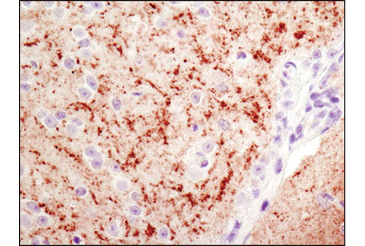 Immunohistochemical analysis of paraffin-embedded mouse brain using α-Synuclein (D37A6) XP<sup>®</sup> Rabbit mAb.