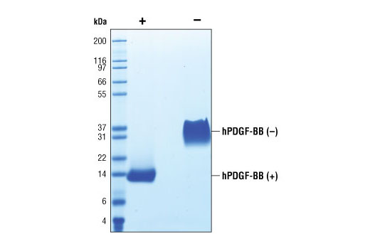 The purity of recombinant hPDGF-BB was determined by SDS-PAGE of 6 µg reduced (+) and non-reduced (-) recombinant hPDGF-BB and staining overnight with Coomassie Blue.