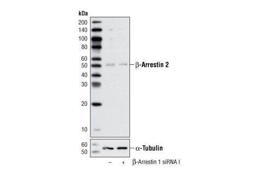 siRNA Transfection Enzyme Inhibitor Activity