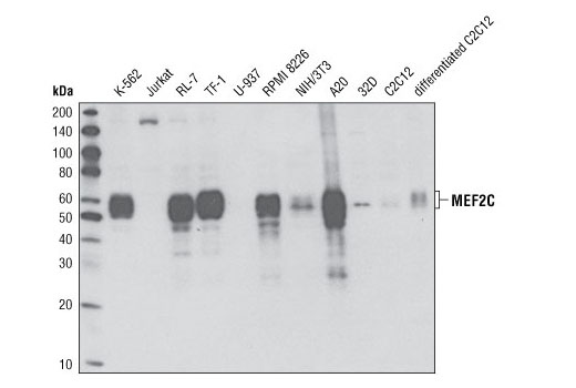 Western blot analysis of extracts from various cells lines using MEF2C (D80C1) XP<sup>®</sup> Rabbit mAb.