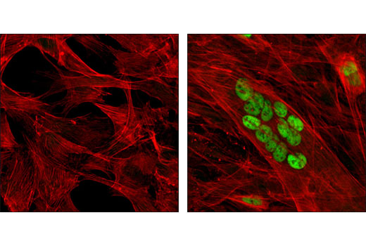 Confocal immunofluorescent analysis of C2C12 cells, undifferentiated (left) or differentiated for 3 days (right), using MEF2C (D80C1) XP<sup>®</sup> Rabbit mAb (green). Actin filaments were labeled with DY-554 phalloidin (red).