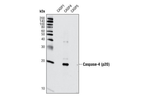 Western blot analyis of extracts from recombinant, active caspase-1, -4, and -5 using Caspase-4 Antibody.