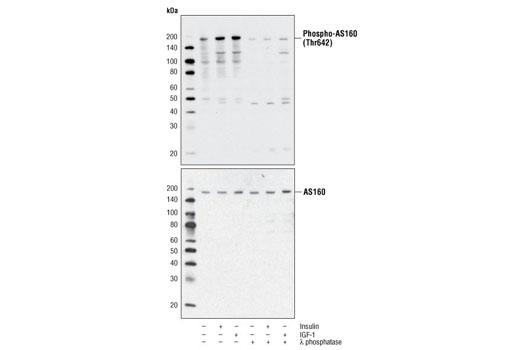 Human as160 Thr642 Phosphate - count 2