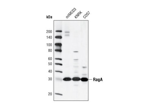 Western blot analysis of extracts from mIMCD3, KNRK and COS7 cells using RagA (D8B5) Rabbit mAb.