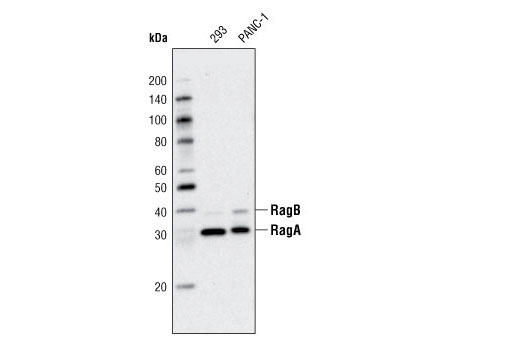Western blot analysis of extracts from 293 and PANC-1 cells using RagA (D8B5) Rabbit mAb.