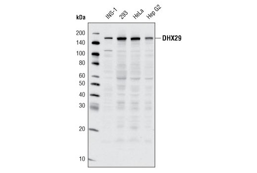 Western blot analysis of extracts from various cell lines using DHX29 (G63) Antibody.
