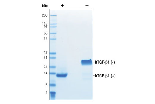 The purity of recombinant hTGF-β1 was determined by SDS-PAGE of 6 µg reduced (+) and non-reduced (-) recombinant hTGF-β1 and staining overnight with Coomassie Blue.