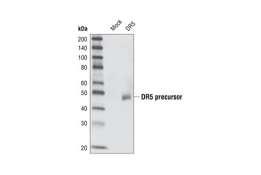 Western blot analysis of extracts from HeLa cells either mock transfected or transfected with a DR5 cDNA, using DR5 Antibody.