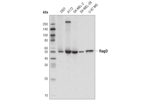 Western blot analysis of extracts from various cell lines using RagD Antibody.