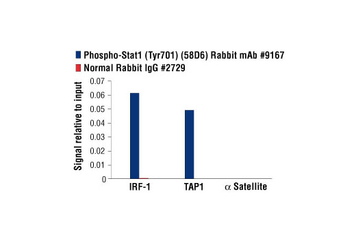 Chromatin immunoprecipitations were performed with cross-linked chromatin from HT-1080 cells treated with IFN-γ (50 ng/ml) for 30 minutes and either Phospho-Stat1 (Tyr701) (58D6) Rabbit mAb or Normal Rabbit IgG #2729 using SimpleChIP<sup>®</sup> Plus Enzymatic Chromatin IP Kit (Magnetic Beads) #9005. The enriched DNA was quantified by real-time PCR using human IRF-1 promoter primers, SimpleChIP<sup>®</sup> Human TAP1 Promoter Primers #5148, and SimpleChIP<sup>®</sup> Human α Satellite Repeat Primers #4486. The amount of immunoprecipitated DNA in each sample is represented as signal relative to the total amount of input chromatin, which is equivalent to one.