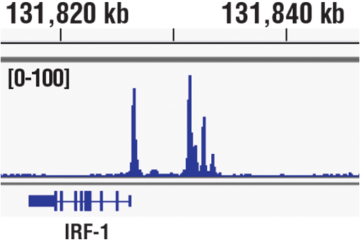 Chromatin immunoprecipitations were performed with cross-linked chromatin from HT-1080 cells treated with IFN-γ (50 ng/ml) for 30 minutes and Phospho-Stat1 (Tyr701) (58D6) Rabbit mAb, using SimpleChIP<sup>®</sup> Plus Enzymatic Chromatin IP Kit (Magnetic Beads) #9005. DNA Libraries were prepared using SimpleChIP<sup>®</sup> ChIP-seq DNA Library Prep Kit for Illumina<sup>®</sup> #56795. The figure shows binding across IRF-1, a known target gene of Phospho-Stat1 (see additional figure containing ChIP-qPCR data). For additional ChIP-seq tracks, please download the product data sheet.