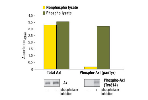 Figure 1: Constitutive phosphorylation of Axl in NCI-H2347 cells lysed in the presence of phosphatase inhibitors* (phospho lysate) is detected by PathScan<sup>®</sup> Phospho-Axl (panTyr) Sandwich ELISA Kit #7042 (top, right). In contrast, a low level of phospho-Axl protein is detected in NCI-H2347 cells lysed in the absence of phosphatase inhibitors* (nonphospho lysate). Similar levels of total Axl protein from both nonphospho or phospho lysates are detected by PathScan<sup>®</sup> Total Axl Sandwich ELISA Kit #7040 (top, left). Absorbance at 450 nm is shown in the top figure while corresponding western blots using a phospho-Axl (Tyr814) rabbit antibody (right) or a total Axl (C44G1) Rabbit mAb #4566 (left) are shown in the bottom figure. *Phosphatase inhibitors include sodium pyrophosphate, β-glycerophosphate and Na<sub>3</sub>VO<sub>4</sub>.