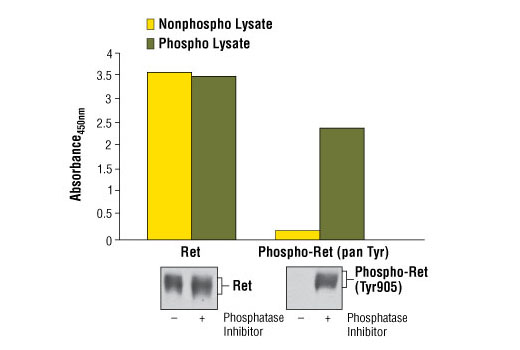Figure 1: Constitutive phosphorylation of Ret in TT cells lysed in the presence of phosphatase inhibitors* (phospho lysate) is detected by PathScan<sup>®</sup> Phospho-Ret (panTyr) Sandwich ELISA Kit #7034 (upper, right). In contrast, a low level of phospho-Ret protein is detected in TT cells lysed in the absence of phosphatase inhibitors* (nonphospho lysate). Similar levels of total Ret protein from both nonphospho or phospho lysates are detected by PathScan<sup>®</sup> Total Ret Sandwich ELISA Kit #7032 (upper, left). Absorbance at 450 nm is shown in the top figure while corresponding western blots using a Phospho-Ret (Tyr905) Rabbit Antibody #3221 (right) or a total Ret (C31B4) Rabbit mAb #3223 (left) are shown in the bottom figure. *Phosphatase inhibitors include sodium pyrophosphate, β-glycerophosphate and Na<sub>3</sub>VO<sub>4</sub>.