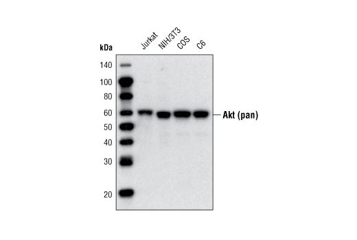 Western Blotting Image 1: Akt (pan) (40D4) Mouse mAb (Biotinylated)