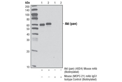 Immunoprecipitation Image 1: Akt (pan) (40D4) Mouse mAb (Biotinylated)