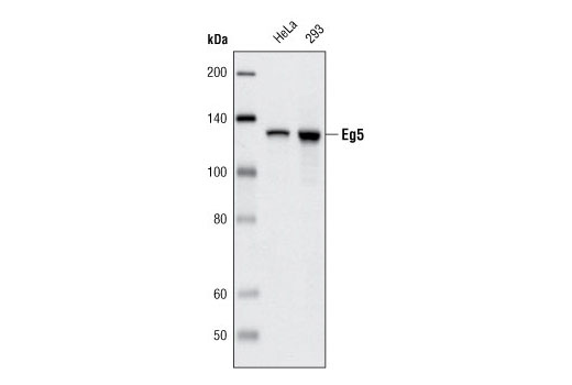 Western blot analysis of extracts form HeLa and 293 cells using Eg5 (4H3-1F12) Mouse mAb.