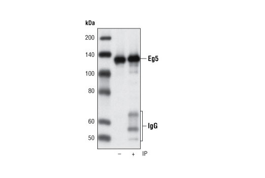 Immunoprecipitation of Eg5 from HeLa cell extracts using Eg5 (4H3-1F12) Mouse mAb followed by western blot using the same antibody. IP (-) is 5% input.