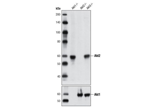 Western blot analysis of extracts from Akt1, Akt2 or Akt3 -/- mouse embryonic fibroblasts using Akt2 (L79B2) Mouse mAb (upper) and Akt1 (C73H10) Rabbit mAb #2938 (lower).