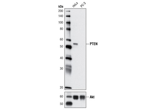 Western blot analysis of extracts from HeLa and PC-3 cells using PTEN (D5G7) Rabbit mAb (upper) and Akt (pan) (C67E7) Rabbit mAb #4691 (lower).