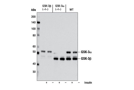 Western blot analysis of extracts from GSK-3β (-/-) (lanes 1,2), GSK-3α (-/-) (lanes 3,4) and wild type (lanes 5,6) mouse embryonic fibroblast cells (MEF), untreated or insulin treated, using GSK-3α/β (D75D3) XP<sup>®</sup> Rabbit mAb. (MEF wild type, GSK-3α (-/-) and GSK-3β (-/-) cells were kindly provided by Dr. Jim Woodgett, University of Toronto, Canada).