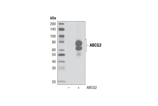 Western blot analysis of extracts from COS-7 cells, mock transfected (-) or transfected with a construct overexpressing human ABCG2 (+), using ABCG2 Antibody.