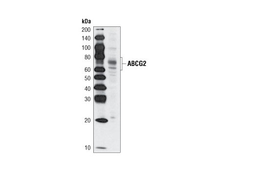 Polyclonal Antibody Western Blotting Multidrug Transport
