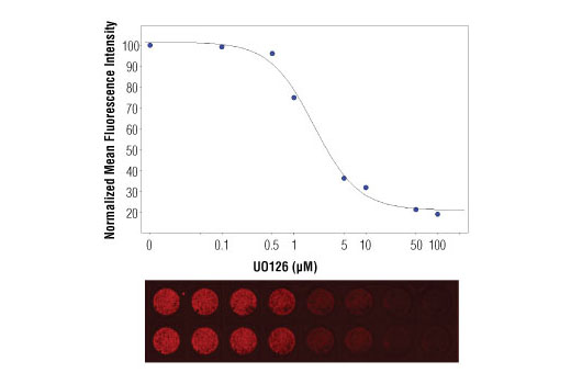 In-Cell Western™ analysis of A549 cells exposed to varying concentrations of U0126 (MEK1/2 Inhibitor) #9903 for 3 hours, followed by TPA (Phorbol-12-Myristate-13-Acetate) #9905 stimulation for 30 minutes. With increasing concentrations of U0126, a significant decrease (~5 fold) in Phospho-p44/42 MAPK (Erk1/2) (Thr202/Tyr204) (D13.14.4E) XP<sup>®</sup> Rabbit mAb #4370 signal as compared to the TPA-stimulated control was observed. When using phospho-Erk as a measurement, the IC<sub>50</sub> of this compound was 1.9 μM. Data and images were generated on the LI-COR<sup>®</sup> Biosciences Odyssey<sup>®</sup> Infrared Imaging System using Anti-rabbit IgG (H+L) (DyLight™ 680 Conjugate).