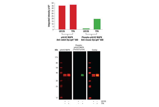 Western blot analysis of Jurkat cell lysates (#9194) treated with either U0126 (MEK 1/2 inhibitor) #9903 or TPA (12-O-Tetradecanoylphorbol-13-Acetate) #4174 using p44/42 MAPK (Erk1/2) (137F5) Rabbit mAb #4695 detected with Anti-rabbit IgG (H+L) (DyLight™ 680 Conjugate) (red) and Phospho-p44/42 MAPK (Erk1/2) (Thr202/Tyr204) (E10) Mouse mAb #9106 detected with Anti-mouse IgG (H+L) (DyLight™ 800 Conjugate) #5257 (green). The array image pixel intensities obtained using a LI-COR<sup>®</sup> Biosciences Odyssey<sup>®</sup> Infrared Imaging System are shown in the upper panel while corresponding fluorescent western blots are shown in the lower panel.