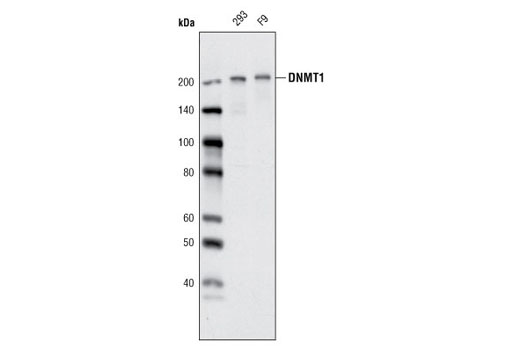Western blot analysis of extracts from 293 and F9 cells using DNMT1 (D63A6) XP<sup>®</sup> Rabbit mAb.