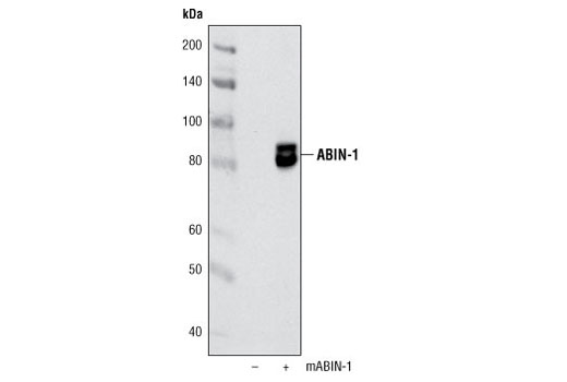 Polyclonal Antibody Western Blotting Mitogen-Activated Protein Kinase Binding